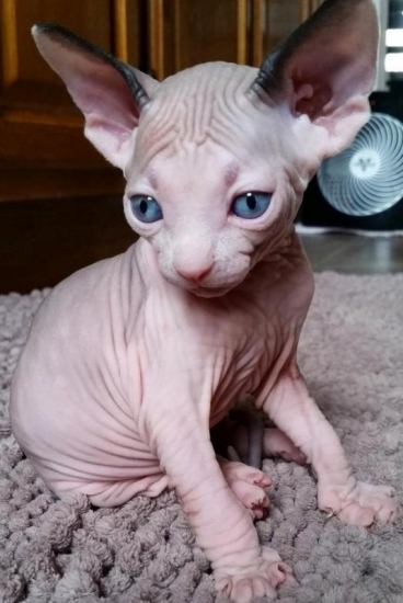 Utah Hairless Sphynx kittens Store : Pets and Animals in